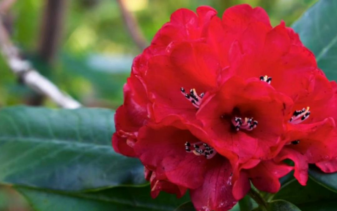 Rhododendron- lali Guras- flora and fauna in Nepal